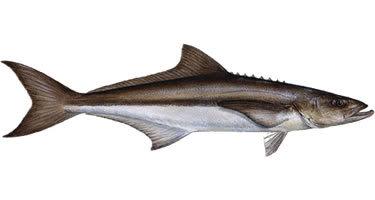 thưởng thức cá bóp và hải sản Ninh Hòa (Khánh Hòa)